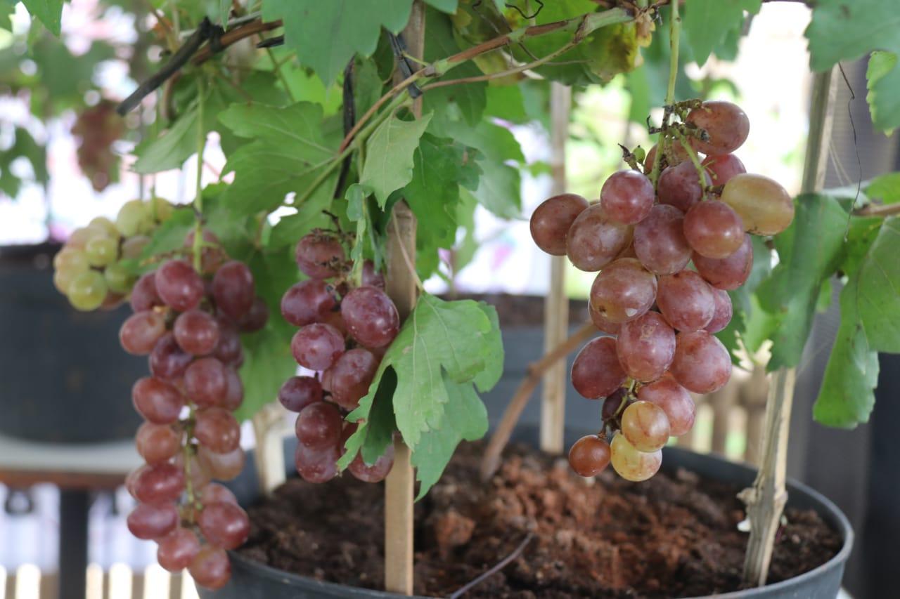 Blora Punya Kebun Anggur, Kunjungi Yuk - Damarinfo.com